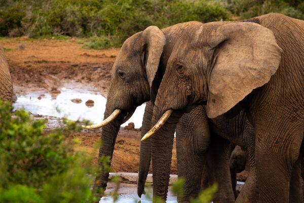 Слоны в национальном парке Эддо-Элефант в ЮАР