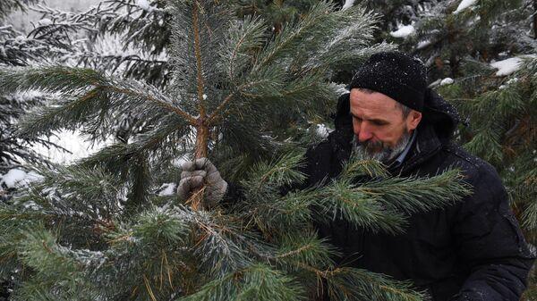 Заготовка елей к Новому году
