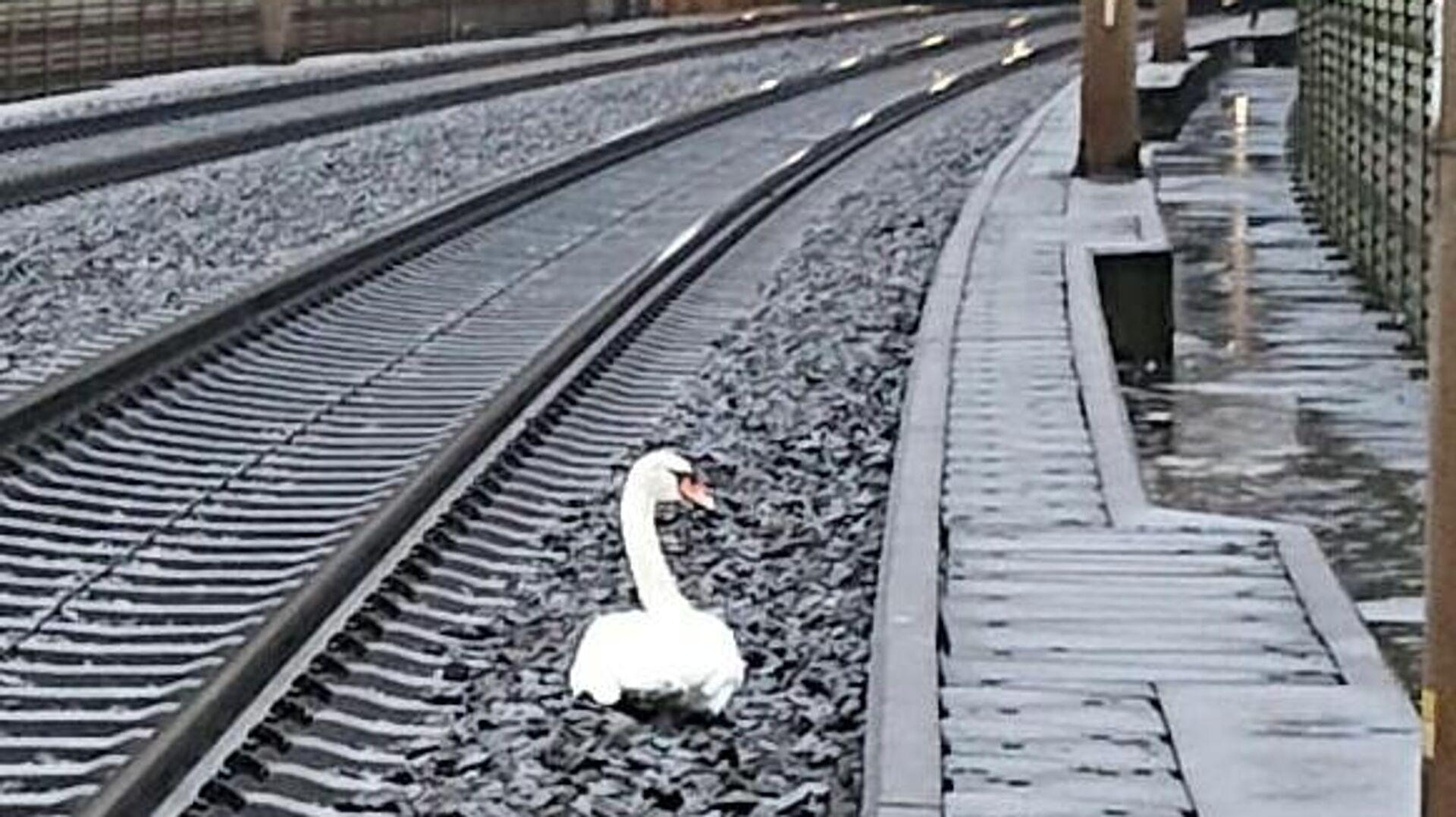 Лебедь, затруднивший движение поездов на железной дороге в Германии - РИА Новости, 1920, 29.12.2020