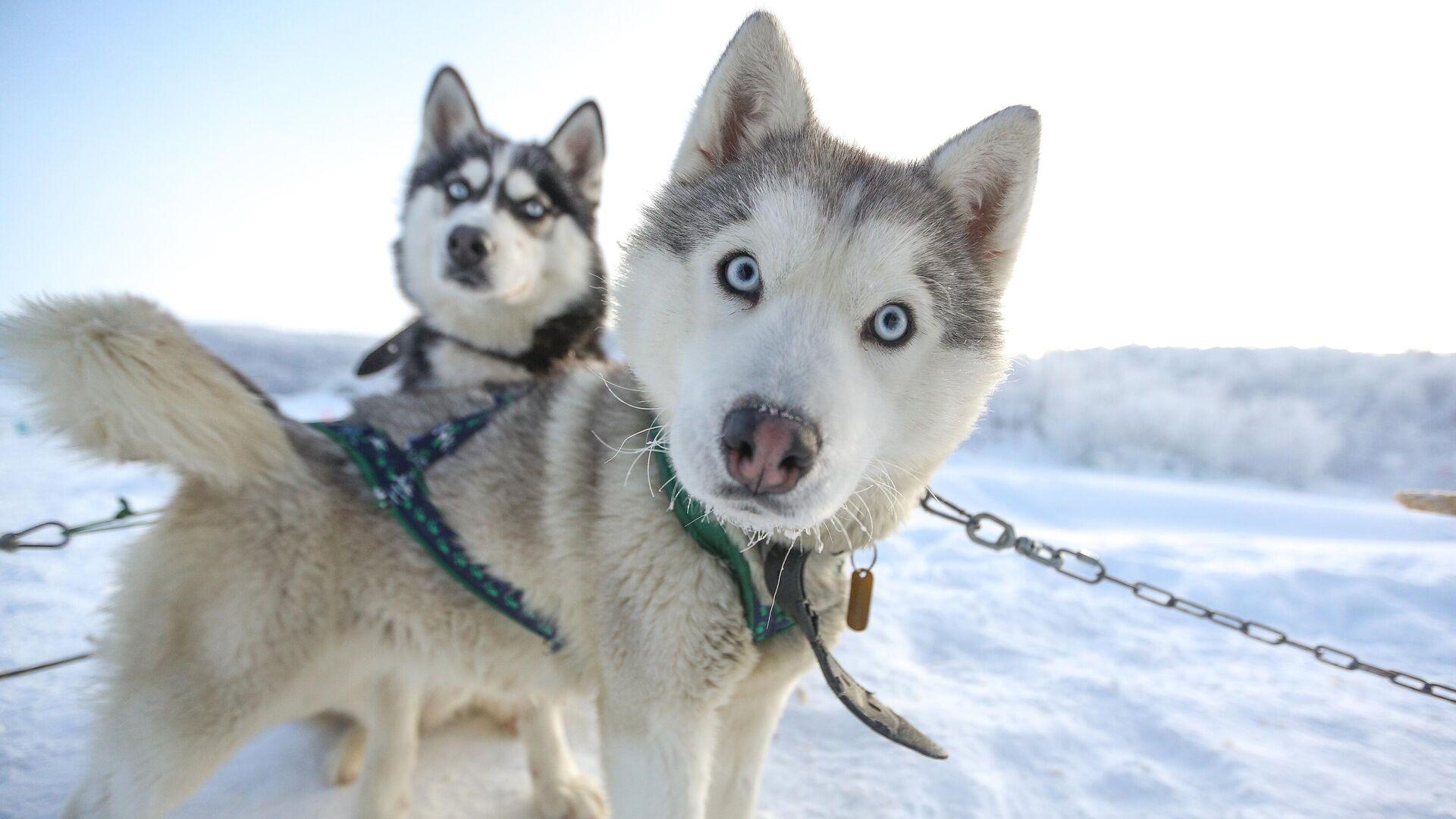 Ездовые собаки породы сибирский хаски в туристическом парке Северное сияние в Мурманской области - РИА Новости, 1920, 21.02.2021