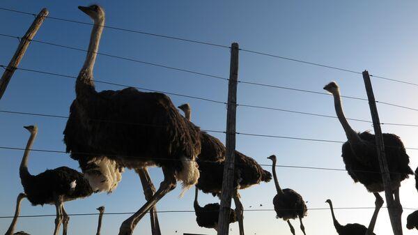 Ездовые страусы