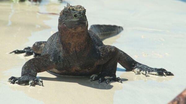 Игуана на Галапагосских островах