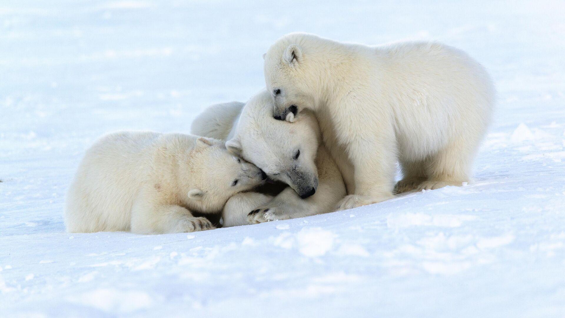 Белая медведица с медвежатами на берегу Чукотского моря - РИА Новости, 1920, 01.04.2021