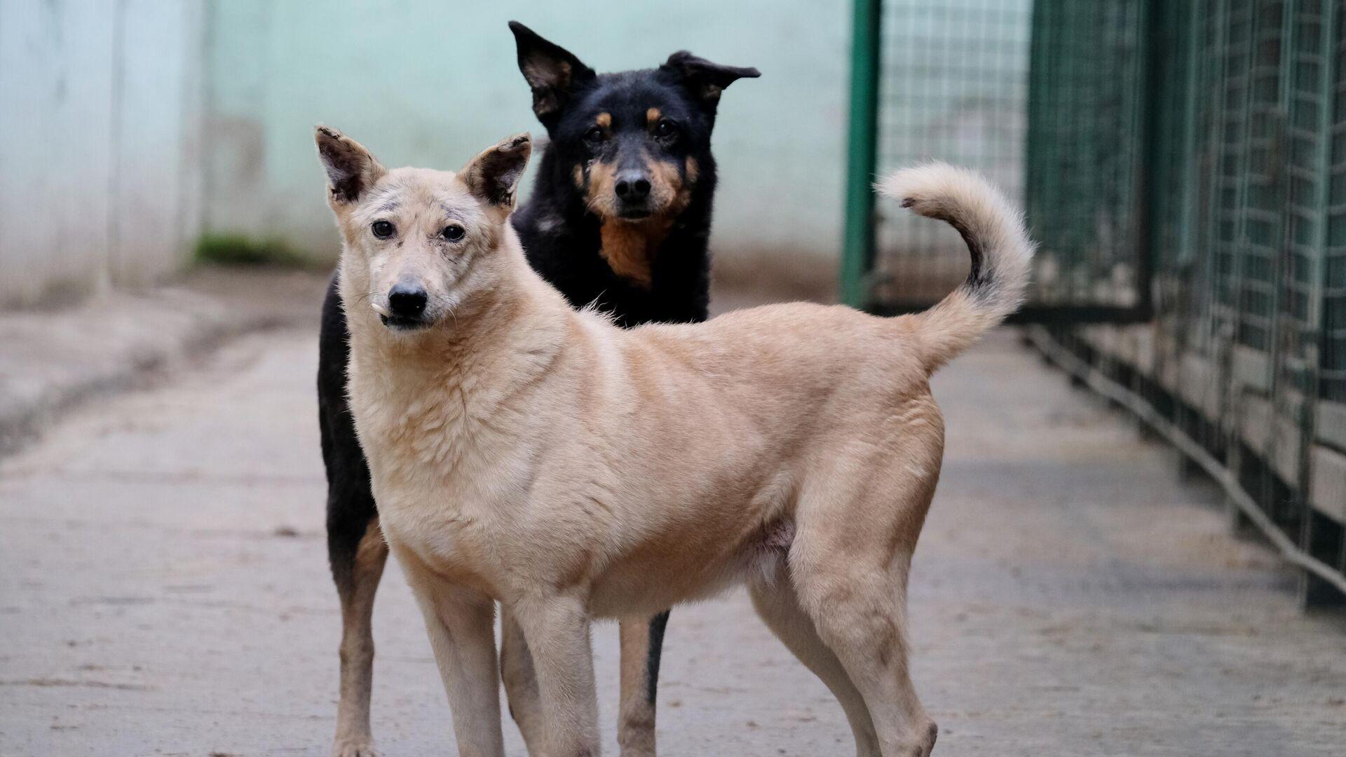 Собаки гуляют на территории приюта для бездомных животных Зоорассвет в Кусково - РИА Новости, 1920, 25.01.2021