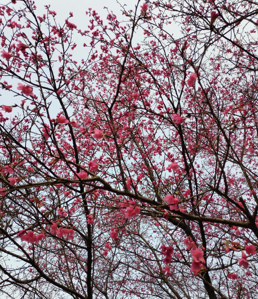 Цветние дерева в Китае