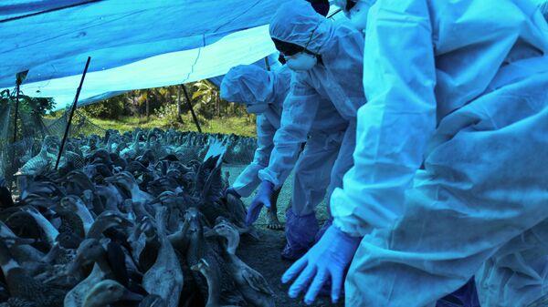 Медицинские работники в защитных костюмах во время выбраковки уток после обнаружения штамма птичьего гриппа H5N8 в штате Керала, Индия