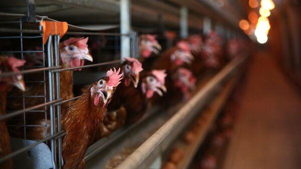 Цех промышленного стада кур-несушек на птицефабрике