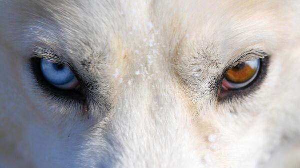 Гонка на собачьих упряжках Сила Сибири - 2021