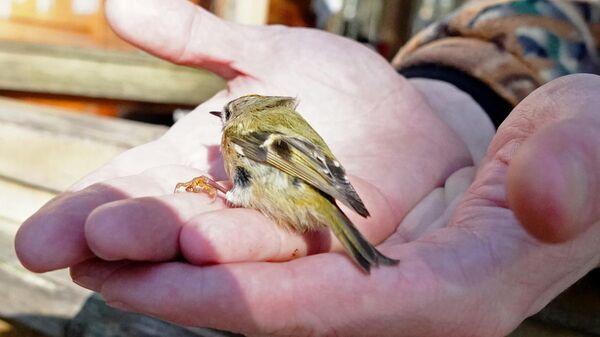 Орнитолог и птица на Куршской косе
