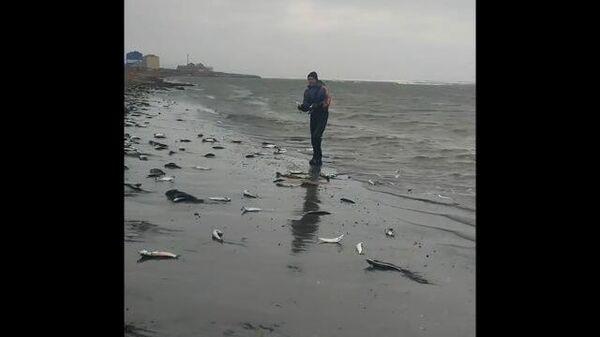 Побережье Сахалина усыпало тихоокеанской сельдью во время нереста