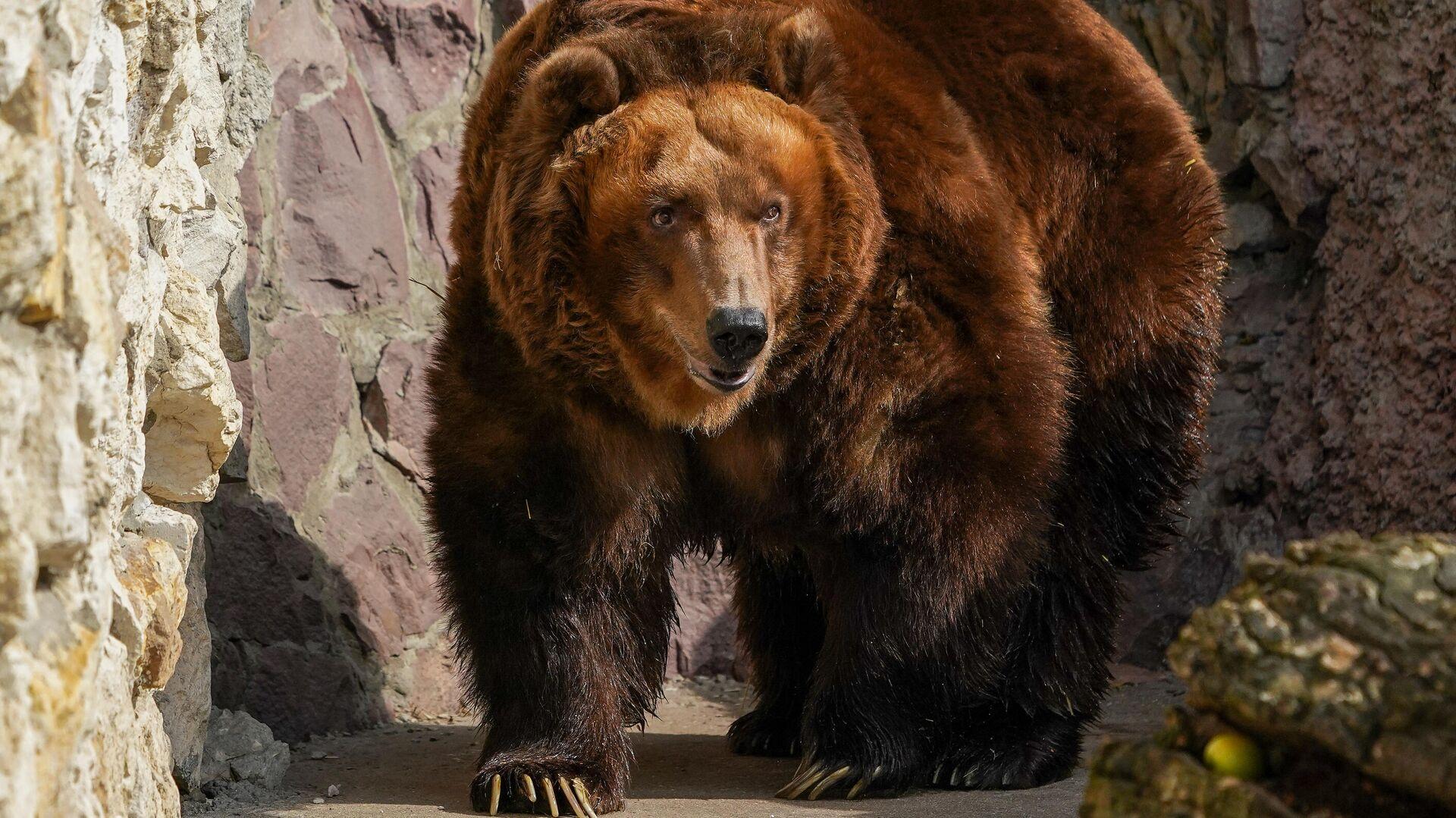 Бурый медведь в вольере Московского зоопарка - РИА Новости, 1920, 28.07.2021