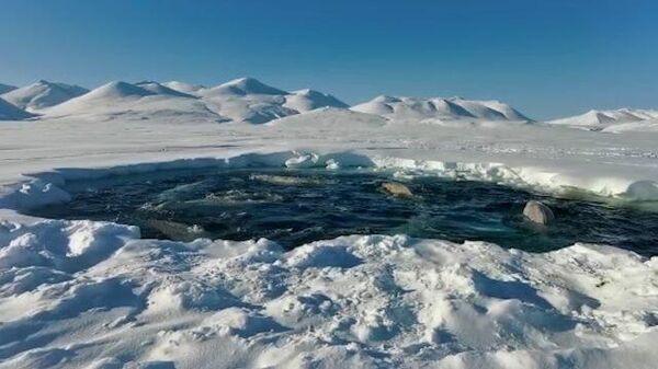 В ледяной ловушке: белухи оказались отрезаны от большой воды на Чукотке