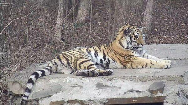 Тигрица Санда в Центре реабилитации тигров и других редких животных