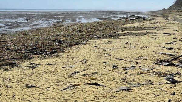 Икра сахалинской сельди, выброшенная на берег полуострова