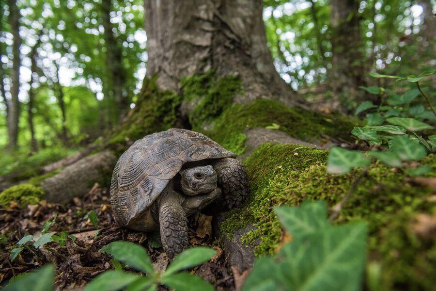 Средиземноморская Черепаха в зарослях самурских лиановых лесов