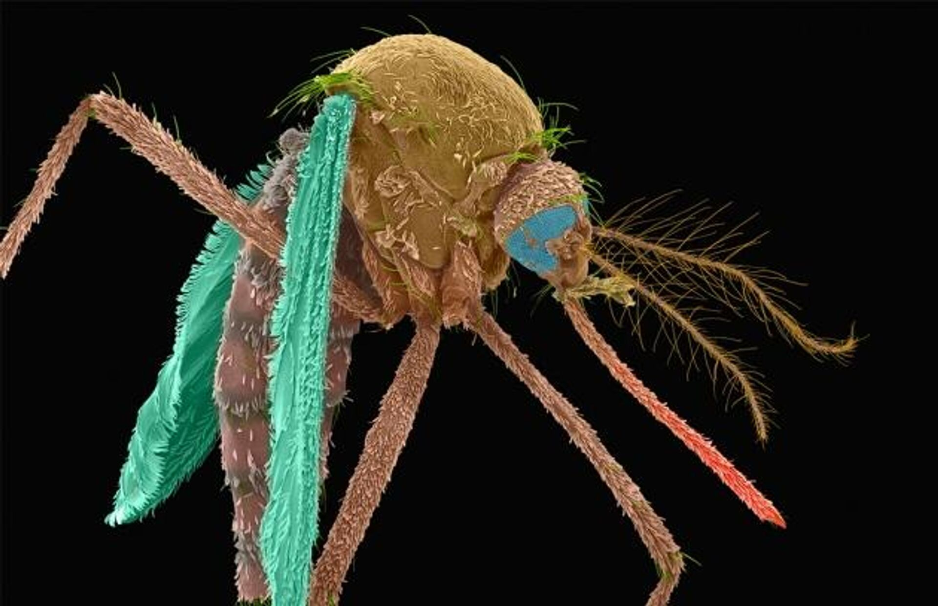 Выращенные в лаборатории москиты, разработанные MosquitoMate, направлены на уничтожение диких комаров переносчиков болезней  - РИА Новости, 1920, 02.06.2021