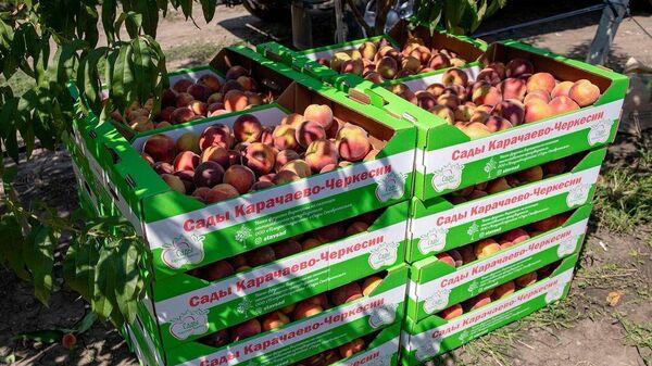 Урожай экспериментального персикового сада в Карачаево-Черкесской республике
