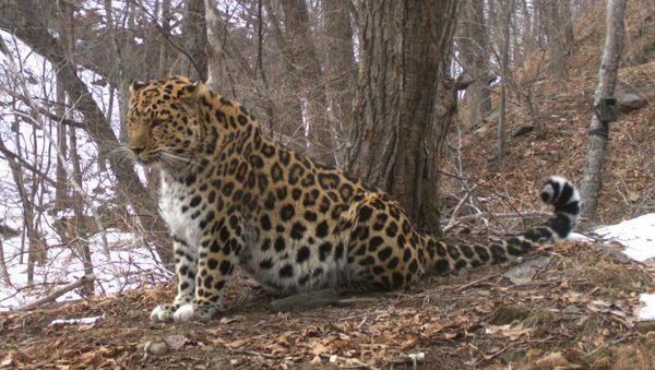 Фотомониторинг леопарда в Приморье