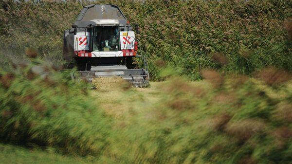 Уборка урожая риса. Архивное фото