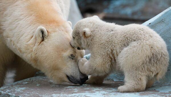 Белая медведица Герда со своим детенышем