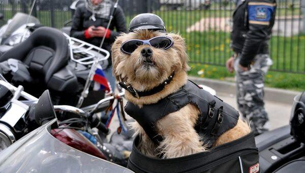 Собака-байкер Стич. Архивное фото