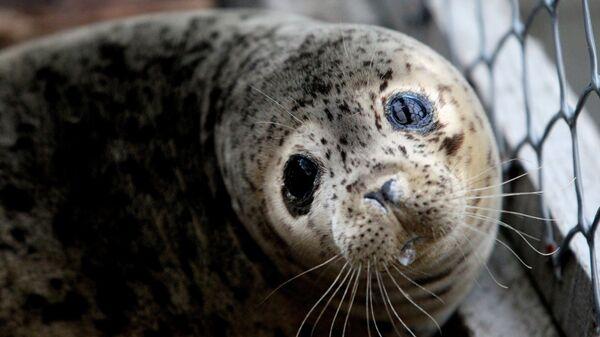 Детеныш ларги (пятнистого тюленя). Архивное фото