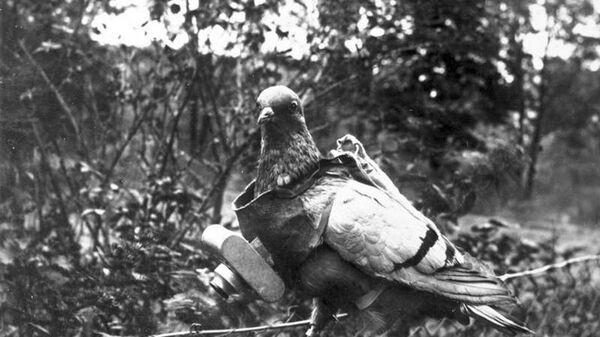 Голубь, подготовленный для проведения аэрофотосъемки, во время Первой мировой войны