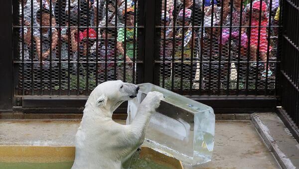 Белый медведь с глыбой льда во время жары в Японии