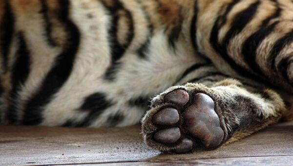 Лапа тигра. Архивное фото