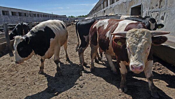 Животноводческий комплекс по откорму крупного рогатого скота. Архивное фото