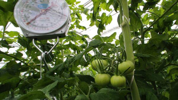 Выращивание овощей в тепличном хозяйстве