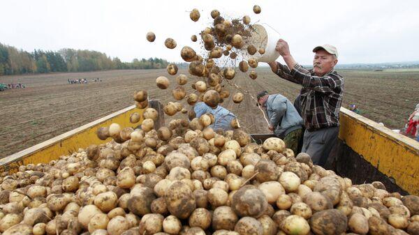Свежевыкопанный картофель