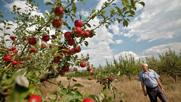 Молдавский фермер в яблоневом саду. Архивное фото