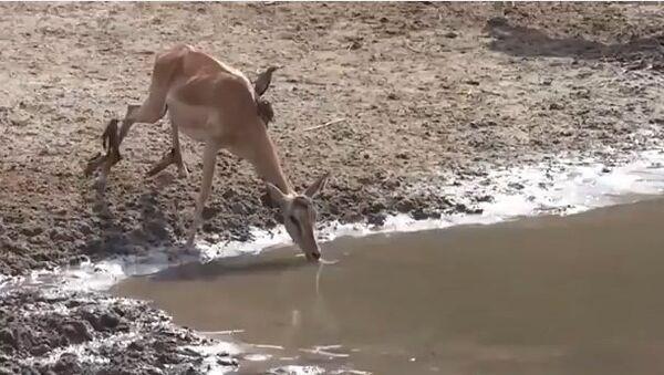 Видео в YouTube: антилопа и крокодил