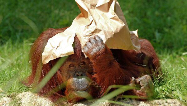 Орангутанг держит бумагу над головой