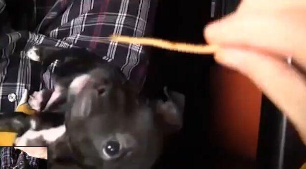 Видео в YouTube: собака ест спагетти