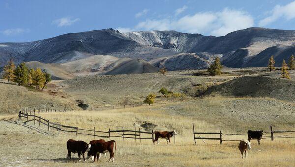 Коровы на пастбище. Архивное фото