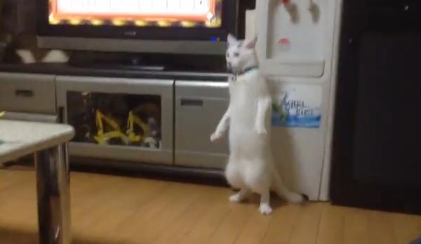 Кот, который старается стать человеком
