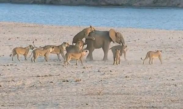 Моськи на слона: 14 голодных львов против слона