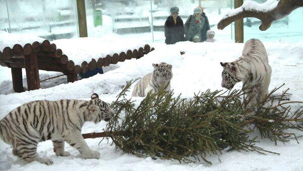Тигры из Московского зоопарка. Архивное фото