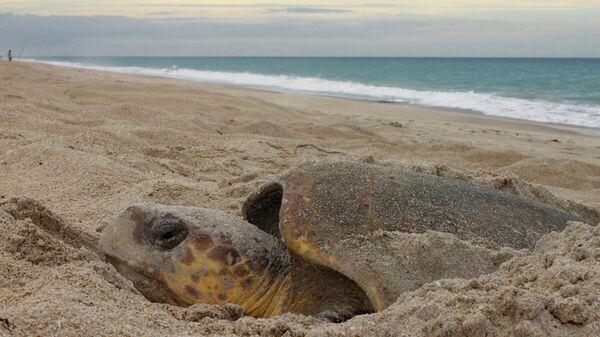 Морская черепаха откладывает яйца