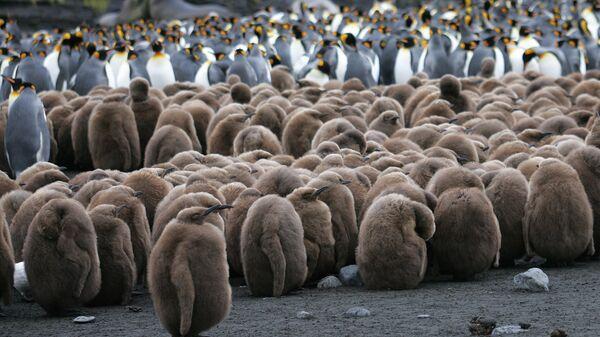 Птенцы колонии королевских пингвинов в Антарктиде