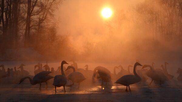 Лебеди на незамерзающем озере Светлом в государственном природном заказнике Лебединый в Алтайском крае