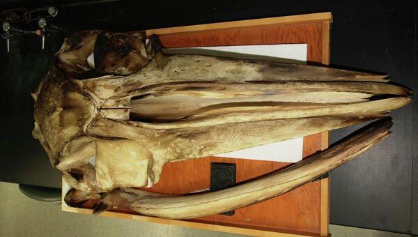 Череп беззубого кита в музее, копию головы которого ученые воссоздали в виртуальной реальности