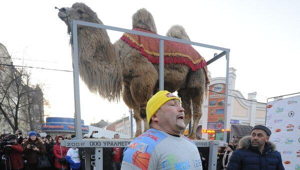 Эльбрус Нигматуллин готовится поднять на плечах 700-килограммового верблюда