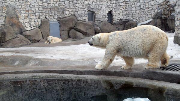 Белые медведи в вольере Московского зоопарка