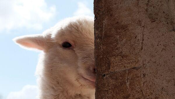 Овечка в убежище для брошенных и спасенных животных в Непи