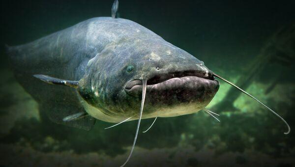 Рыба сом. Архивное фото