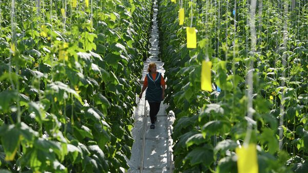 Выращивание огурцов в тепличном комплексе