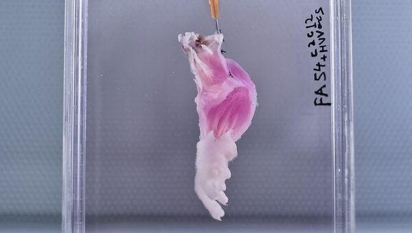Очищенная от клеток нога крысы внутри биореактора
